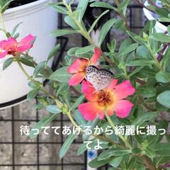 畑/鳩/住まい/暮らし/ガーデニング 1  自宅のポーチェラカ 蝶🦋って綺麗に…