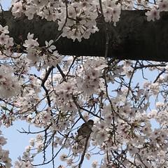 花/鳥/桜満開 おはようございます☀ 自宅裏手の桜並木で…(3枚目)