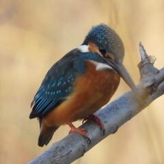 春の一枚 野鳥撮影  カワセミ   近くの河川で発…