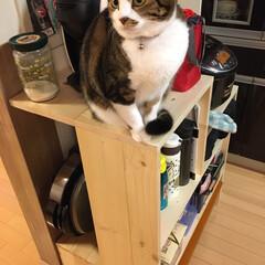 猫のいる暮らし/1×6材/1×4材/DIY/キッチン収納 キッチン収納棚を作り替えました…炊飯器は…