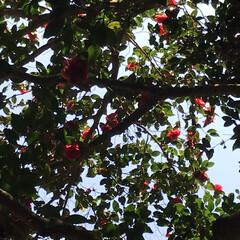 春の一枚 施福寺への長い山道、椿の大木がありました…