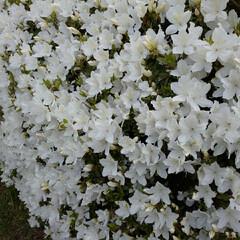花/暮らし 白いお花💠