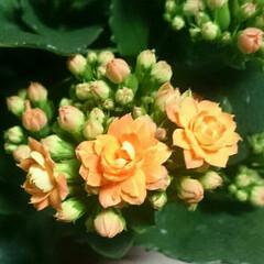 春/ふきのとう/カランコエ/庭/花/フォロー大歓迎/... お花~✴