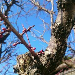 春よ来い/蕾/梅/フォロー大歓迎/風景/小さい春 我が家の梅さん。 そろそろ咲きそうな。 …