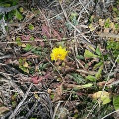 春/タンポポ/散歩/LIMIAおでかけ部/フォロー大歓迎/ペット/... 今年初見のタンポポは枯葉に埋もれるように…