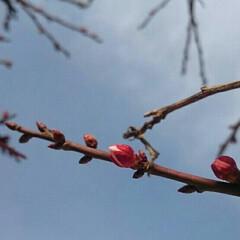 水仙/梅/蕾/花/庭/LIMIAおでかけ部/... 咲くのかい~? 咲かないのかい? 君は何…
