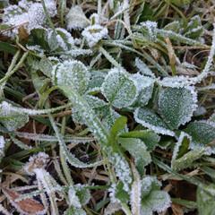 冬の庭/冬/霜柱/レース/霜/住まい/... 霜のレースの縁取り✨ 霜柱もバリバリだぜ…