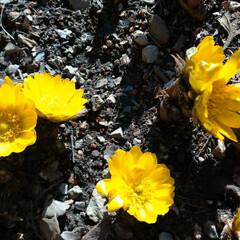 福寿草/住まい/暮らし 今日も暖かったですね🎶 庭の福寿草も今年…
