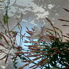 咲き始め/名前判らない/黄色/水仙/ジャスミン/花/... 咲いた~🎵咲いた~🎵  羽衣ジャスミンと…