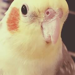 可愛い/オウム/オカメインコ/ペット 朝のおはようがすごく嬉しそうなポポス♡ …