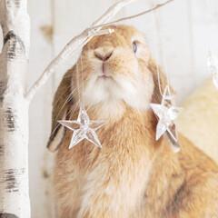 ホーランドロップイヤー/うさぎ/フォロー大歓迎/ペット もうすぐクリスマスだから飾り付けしなきゃ…