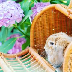 ホーランドロップ/うさぎ/雨季ウキフォト投稿キャンペーン はじめての紫陽花鑑賞💠