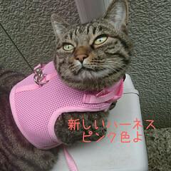 ハーネス/ケロちゃん/にゃんこ同好会/フォロー大歓迎 ケロちゃん、新しいハーネスを着けてお散歩…