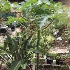 ガーデニング 頂き物のパパイヤの種を植えてみたら忘れた…