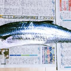 下北半島沖/サワラ/船釣り/LIMIAファンクラブ/LIMIAごはんクラブ/おうちごはんクラブ/... 🐟昨夜頂いた魚🐟 下北半島沖で船釣りをし…