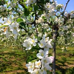 りんごの花/令和の一枚/フォロー大歓迎/LIMIAファンクラブ/LIMIAおでかけ部/おでかけ/... 🍎りんごの花🍎 桜が終わると甘い香りがす…