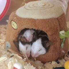 すみっコぐらし/パンダマウス/小動物/ネズミ/パンダマウスおにぎり三姉妹/フォロー大歓迎/... おにぎり三姉妹[ツナ・サケ・ウメ]仲良く…