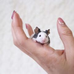 パンダマウス/小動物/ネズミ/パンダマウスおにぎり三姉妹/フォロー大歓迎/ペット/... ウメでちゅ🐼💕 高いところはちょっぴりこ…