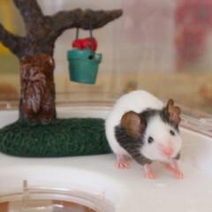 パンダマウスおにぎり三姉妹/ネズミ/小動物/パンダマウス/フォロー大歓迎/ペット/... サケでちゅ💓今日も元気に遊びまちゅよ〜🐼✨