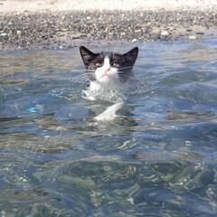 猫/泳ぐ猫/ペット/愛猫/我が家のアイドル/とびきりキュート 我が家の猫、マリンです。猫ですが犬かきで…