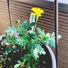 花のある生活/花のある暮らし/いいねありがとうございます/マリーゴールド/ベランダ園芸/園芸初心者/...  マリーちゃんたち 綺麗に咲いてくれまし…