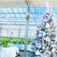 開花🌸/ハウスの中にツリー🎄/クリスマス/S-RABBI/とちおとめ  おとめちゃんたちは ちらほら花が咲き始…