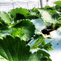 ハウスの中はポカポカ☀️/クロマルバチ/開花🌸/とちおとめ  うちの新しいスタッフ 在来種のクロマル…