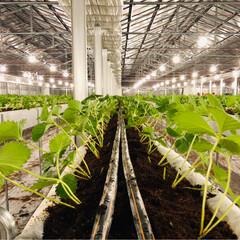 お仕事/とちおとめ/宮城県/一粒1,000円/収穫は12月末か1月頭/定植/...  いちごの苗 定植真っ最中です🌱✳︎  …