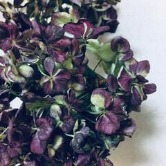 秋/ドライフラワー/紫陽花/インテリア/ドライ/ナチュラル ドライの紫陽花✨ 去年の秋  た~くさん…