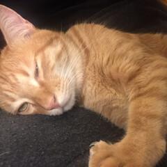変顔/かわいい/ふわり/ペット/猫/にゃんこ同好会 ふわりちゃん…こんな顔で寝るなんて( ꒪…