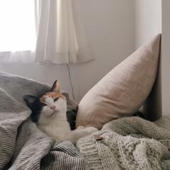 ペット/猫/猫のいる暮らし/猫のいる部屋/猫のいる生活/1R/... ミー助とクッションと毛布たちと。 わが家…