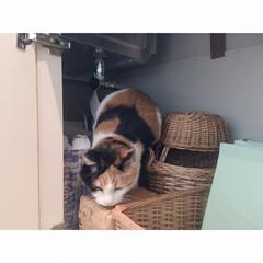 猫と一人暮らし/猫と賃貸/猫とインテリア/猫との暮らし 週に一度の掃除の日。 …(3枚目)
