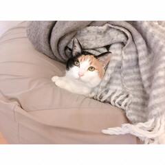 一人暮らし/ワンルームインテリア/1R/猫との暮らし/猫/にゃんこ同好会/... たまに顔と脚の縮尺が  おかしくなるミー…