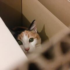 三毛猫のおんなのこ/三毛猫14歳/にゃんこ/猫との生活/猫のいる部屋/猫との時間/... 段ボール大好きミー助。  おもちゃでは遊…