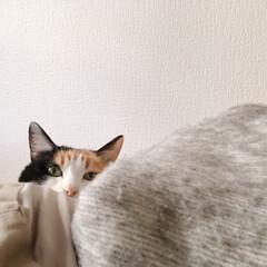 猫のいる暮らし/おうち/猫/無印良品/住まい/ペット/... ソファーの裏から  ひょっこりミー助。