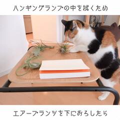 猫と掃除/一人暮らしインテリア/猫との暮らし/猫とインテリア/猫と賃貸/猫と一人暮らし/... 掃除はいつも、ミーとの戦い。(1枚目)