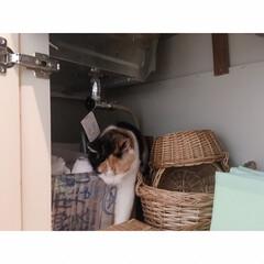 猫と一人暮らし/猫と賃貸/猫とインテリア/猫との暮らし 週に一度の掃除の日。 …(2枚目)