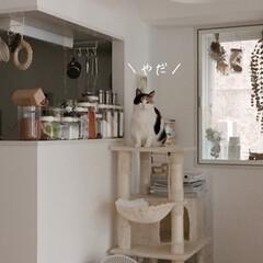 猫の避難訓練/猫の災害対策/猫のいる暮らし/猫のいる生活/猫と一人暮らし/ペットスリング/... やっと買えました、ペットスリング!  コ…(10枚目)