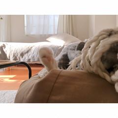 猫の寝相/猫と賃貸/猫とインテリア/一人暮らし/一人暮らしインテリア/ワンルームインテリア/... ソファーからいっぽん  可愛いててが  …(2枚目)