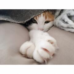 猫と賃貸/賃貸インテリア/一人暮らしインテリア/ワンルームインテリア/猫との暮らし/おやすみショット 海苔巻きミー助。  両端から具材がはみ出…(5枚目)