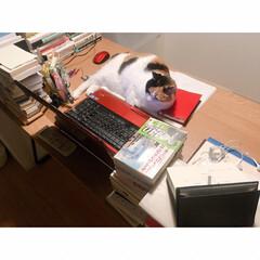 ワークデスク/ワンルームインテリア/一人暮らしインテリア/一人暮らし/猫と賃貸/猫とインテリア/... パソコンを ガン見されてるミー助さま。 …(3枚目)