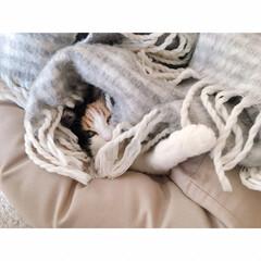 猫の寝相/猫と賃貸/猫とインテリア/一人暮らし/一人暮らしインテリア/ワンルームインテリア/... ソファーからいっぽん  可愛いててが  …(6枚目)