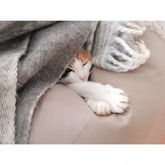 猫と賃貸/賃貸インテリア/一人暮らしインテリア/ワンルームインテリア/猫との暮らし/おやすみショット 海苔巻きミー助。  両端から具材がはみ出…(4枚目)