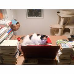 ワークデスク/ワンルームインテリア/一人暮らしインテリア/一人暮らし/猫と賃貸/猫とインテリア/... パソコンを ガン見されてるミー助さま。 …