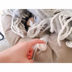 猫の寝相/猫と賃貸/猫とインテリア/一人暮らし/一人暮らしインテリア/ワンルームインテリア/... ソファーからいっぽん  可愛いててが  …(7枚目)