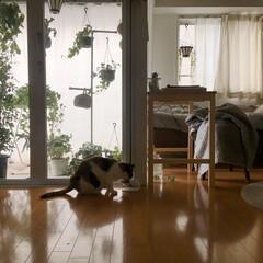 作業机/作業スペース/猫との生活/猫との暮らし/猫のいる風景/猫のいる部屋/... 作業デスクを1200のダイニングテーブル…