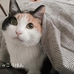猫のいる部屋/猫のいる風景/猫のいる生活/猫のいる暮らし/ワンルームインテリア/一人暮らしインテリア/... 布団をかぶって眠るミー助。 萌え・・・