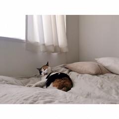 猫との暮らし/猫とインテリア/猫と賃貸/猫と一人暮らし/無印良品/うちの子ベストショット こっち(カメラ)を気にしながらも …(5枚目)