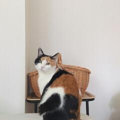 三毛猫14歳/三毛猫のおんなのこ/にゃんこ/猫との生活/猫との時間/猫のいる部屋/... うーん。  カゴに入るか、あっちにいくか…