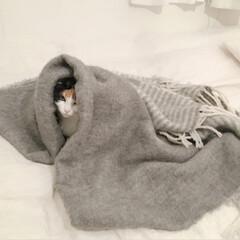 にゃんこ/猫との時間/猫のいる部屋/猫との生活/三毛猫14歳/三毛猫のおんなのこ/... なんとなく十二単っぽいと思った写真。  …